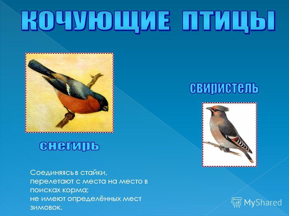 Соединяясь в стайки, перелетают с места на место в поисках корма; не имеют определённых мест зимовок.