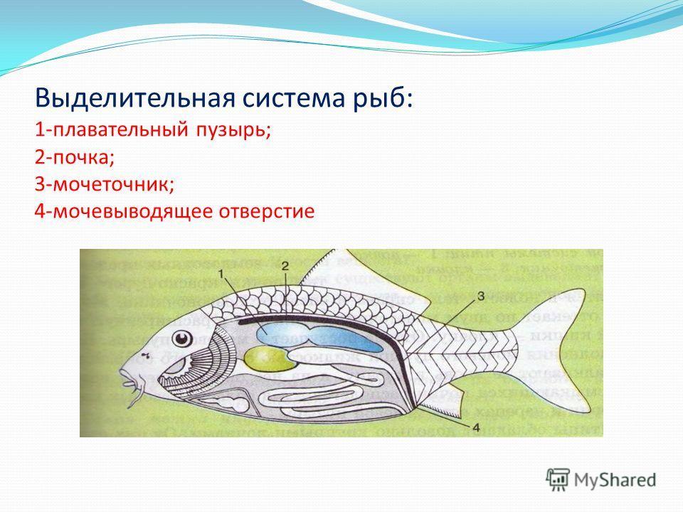 Выделительная система рыб: 1-плавательный пузырь; 2-почка; 3-мочеточник; 4-мочевыводящее отверстие