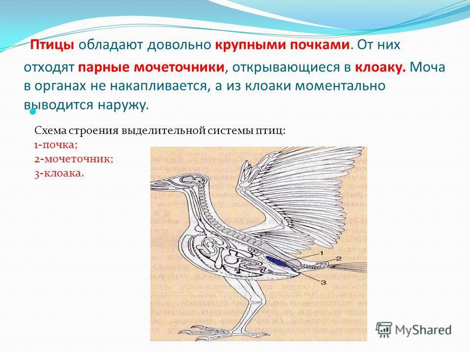 Птицы обладают довольно крупными почками. От них отходят парные мочеточники, открывающиеся в клоаку. Моча в органах не накапливается, а из клоаки моментально выводится наружу. Схема строения выделительной системы птиц: 1-почка; 2-мочеточник; 3-клоака