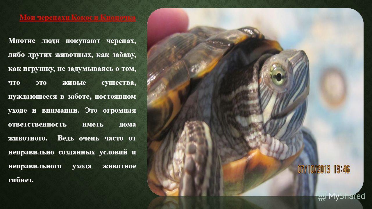 Мои черепахи Кокос и Кнопочка Многие люди покупают черепах, либо других животных, как забаву, как игрушку, не задумываясь о том, что это живые существа, нуждающееся в заботе, постоянном уходе и внимании. Это огромная ответственность иметь дома животн