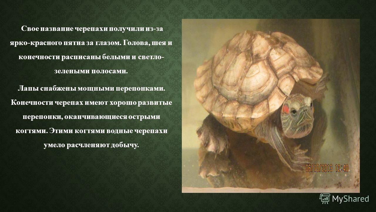 Свое название черепахи получили из-за ярко-красного пятна за глазом. Голова, шея и конечности расписаны белыми и светло- зелеными полосами. мощными Лапы снабжены мощными перепонками. Конечности черепах имеют хорошо развитые перепонки, оканчивающиеся