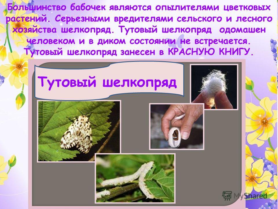 Тутовый шелкопряд Большинство бабочек являются опылителями цветковых растений. Серьезными вредителями сельского и лесного хозяйства шелкопряд. Тутовый шелкопряд одомашен человеком и в диком состоянии не встречается. Тутовый шелкопряд занесен в КРАСНУ