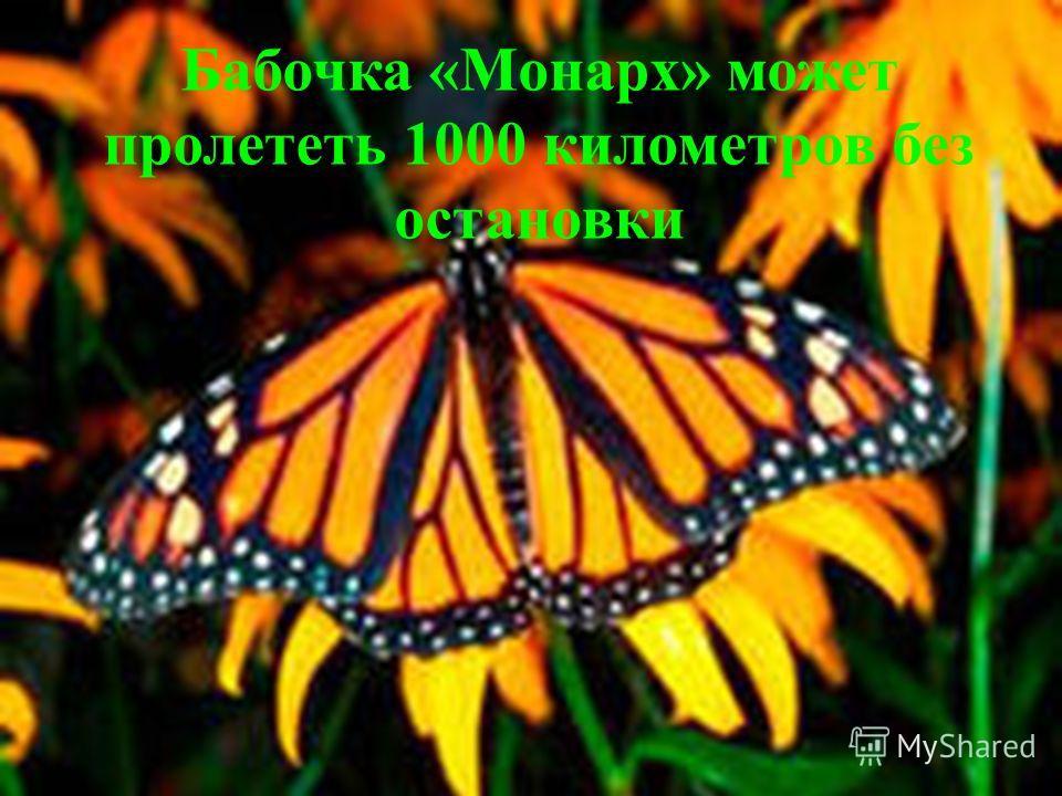 Бабочка «Монарх» может пролететь 1000 километров без остановки