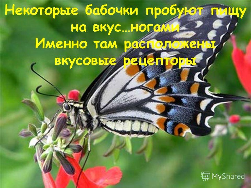 Некоторые бабочки пробуют пищу на вкус…ногами Именно там расположены вкусовые рецепторы