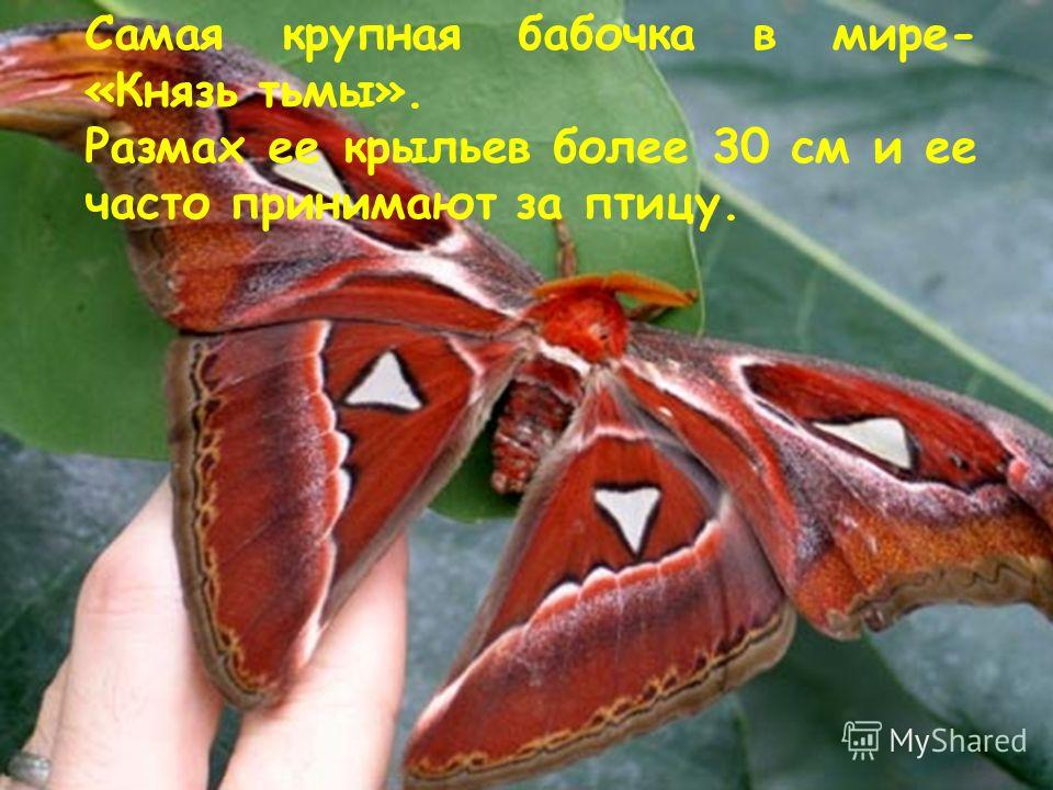 Самая крупная бабочка в мире- «Князь тьмы». Размах ее крыльев более 30 см и ее часто принимают за птицу.