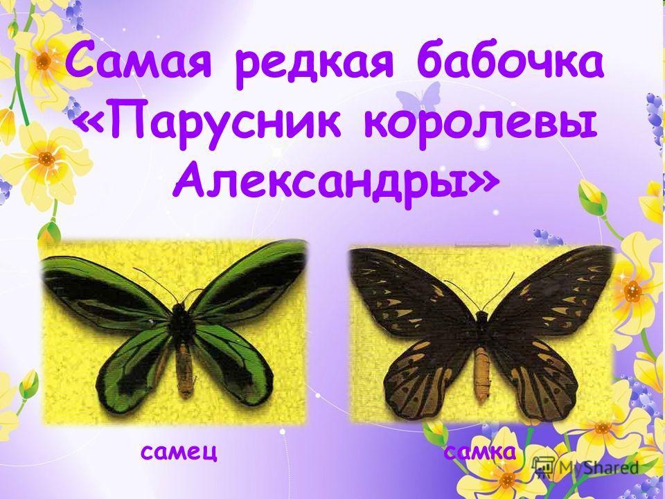 самецсамка Самая редкая бабочка «Парусник королевы Александры»