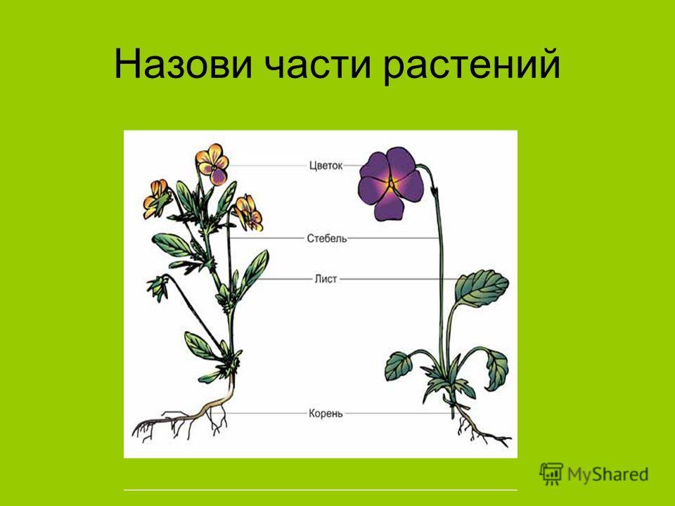 Назови части растений