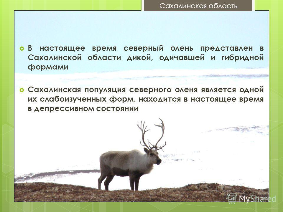 В настоящее время северный олень представлен в Сахалинской области дикой, одичавшей и гибридной формами Сахалинская популяция северного оленя является одной их слабоизученных форм, находится в настоящее время в депрессивном состоянии Сахалинская обла