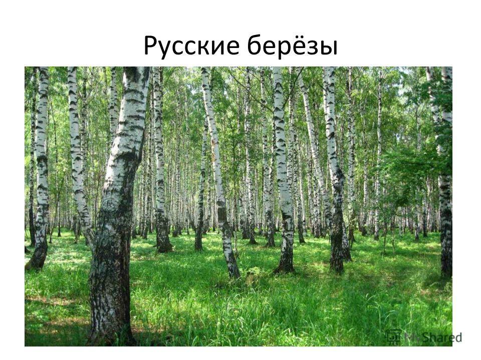 Русские берёзы