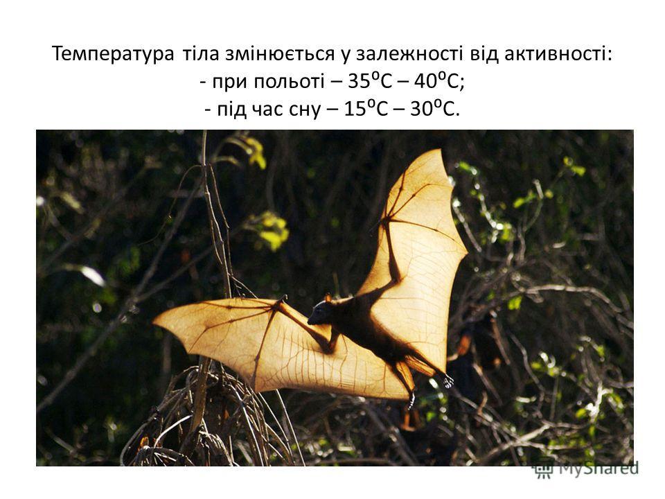 Температура тіла змінюється у залежності від активності: - при польоті – 35С – 40С; - під час сну – 15С – 30С.