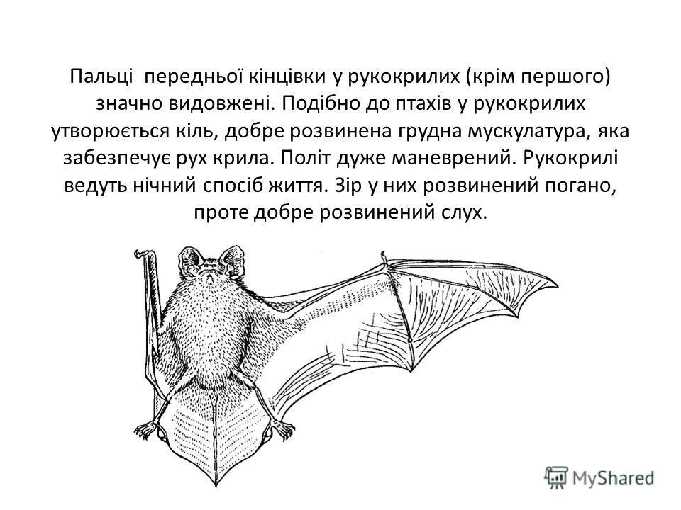 Пальці передньої кінцівки у рукокрилих (крім першого) значно видовжені. Подібно до птахів у рукокрилих утворюється кіль, добре розвинена грудна мускулатура, яка забезпечує рух крила. Політ дуже маневрений. Рукокрилі ведуть нічний спосіб життя. Зір у