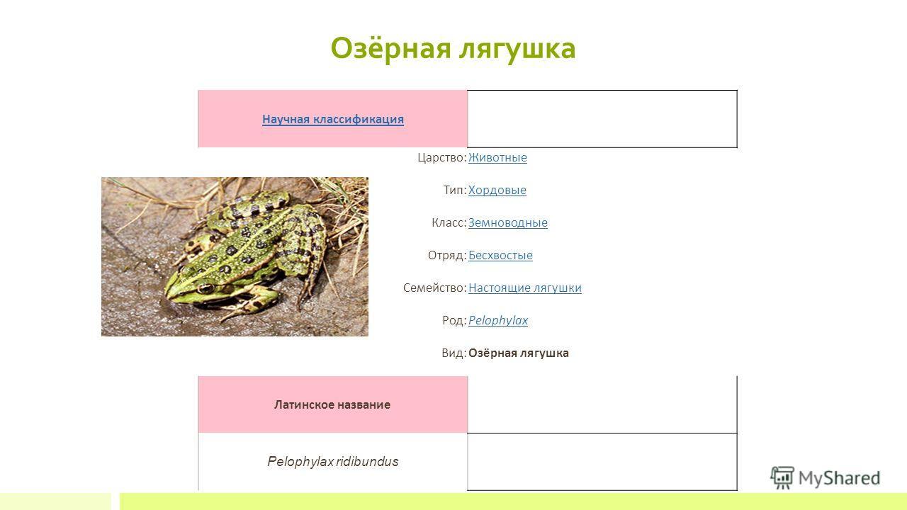 Озёрная лягушка Научная классификация Царство:Животные Тип:Хордовые Класс:Земноводные Отряд:Бесхвостые Семейство:Настоящие лягушки Род:Pelophylax Вид:Озёрная лягушка Латинское название Pelophylax ridibundus