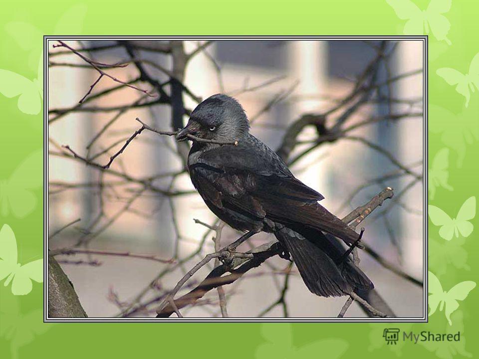 Какой птице принадлежит голос ?