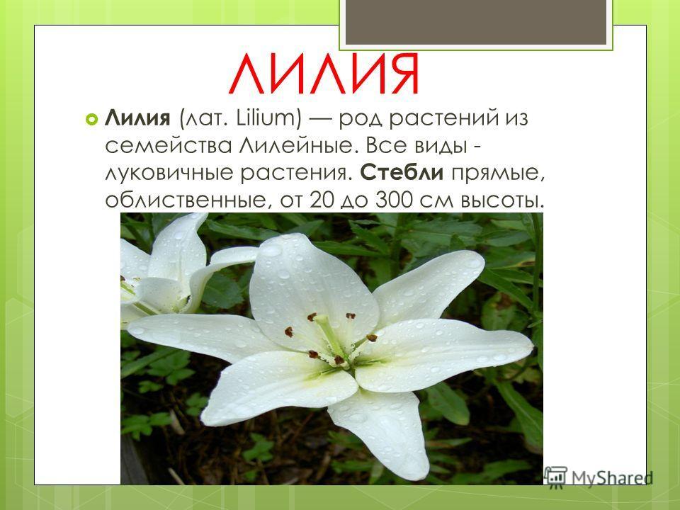 ЛИЛИЯ Лилия (лат. Lilium) род растений из семейства Лилейные. Все виды - луковичные растения. Стебли прямые, облиственные, от 20 до 300 см высоты.