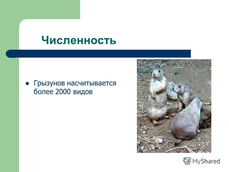 Численность Грызунов насчитывается более 2000 видов