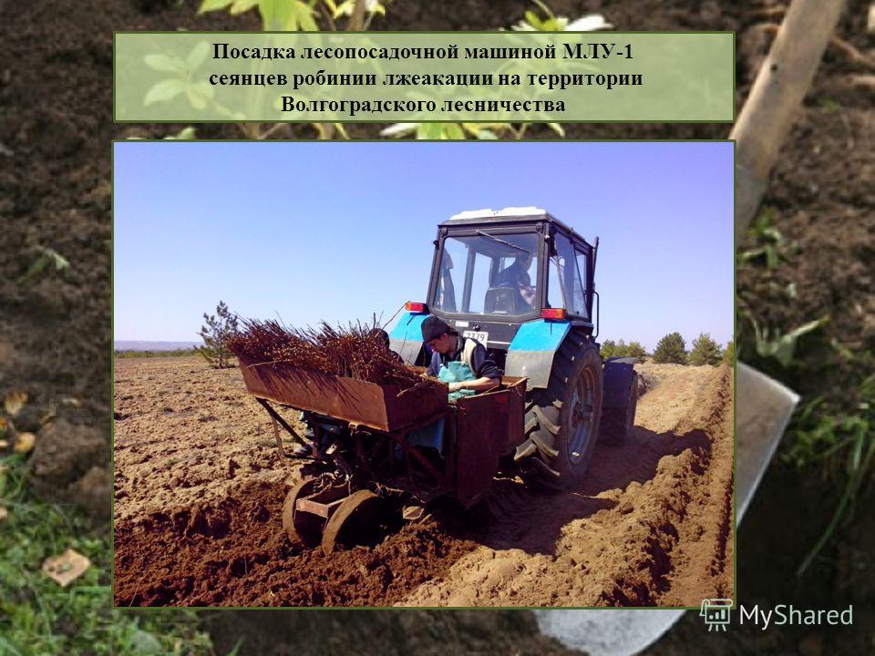 Посадка лесопосадочной машиной МЛУ-1 сеянцев робинии лжеакации на территории Волгоградского лесничества