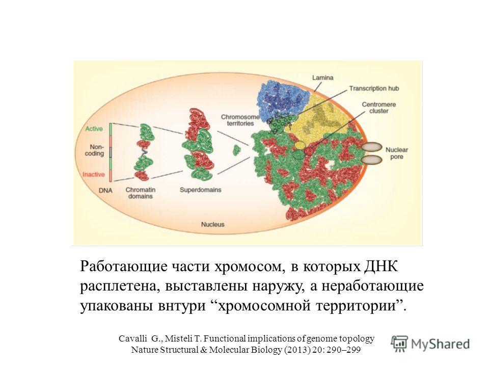 Cavalli G., Misteli T. Functional implications of genome topology Nature Structural & Molecular Biology (2013) 20: 290–299 Работающие части хромосом, в которых ДНК расплетена, выставлены наружу, а неработающие упакованы внтури хромосомной территории.