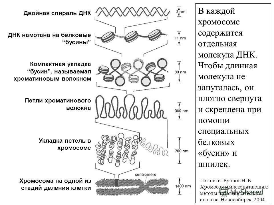 Двойная спираль ДНК ДНК намотана на белковыебусины Компактная укладкабусин, называемая хроматиновым волокном Петли хроматинового волокна Укладка петель в хромосоме Хромосома на одной из стадий деления клетки В каждой хромосоме содержится отдельная мо
