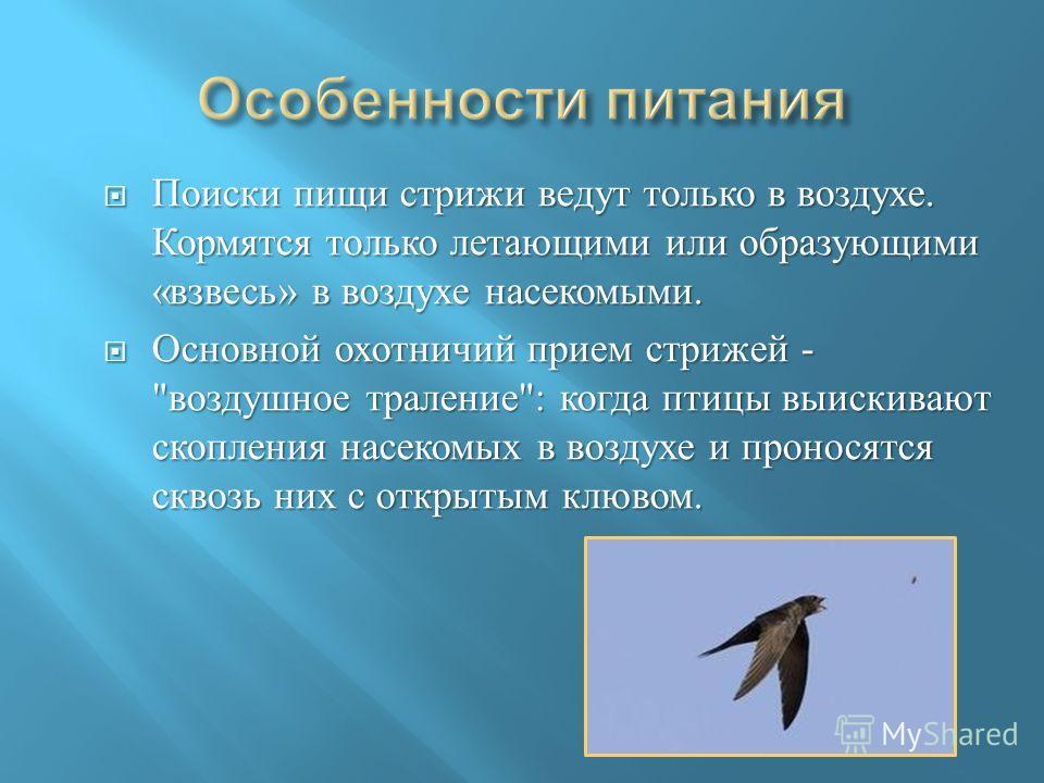 Поиски пищи стрижи ведут только в воздухе. Кормятся только летающими или образующими « взвесь » в воздухе насекомыми. Поиски пищи стрижи ведут только в воздухе. Кормятся только летающими или образующими « взвесь » в воздухе насекомыми. Основной охотн
