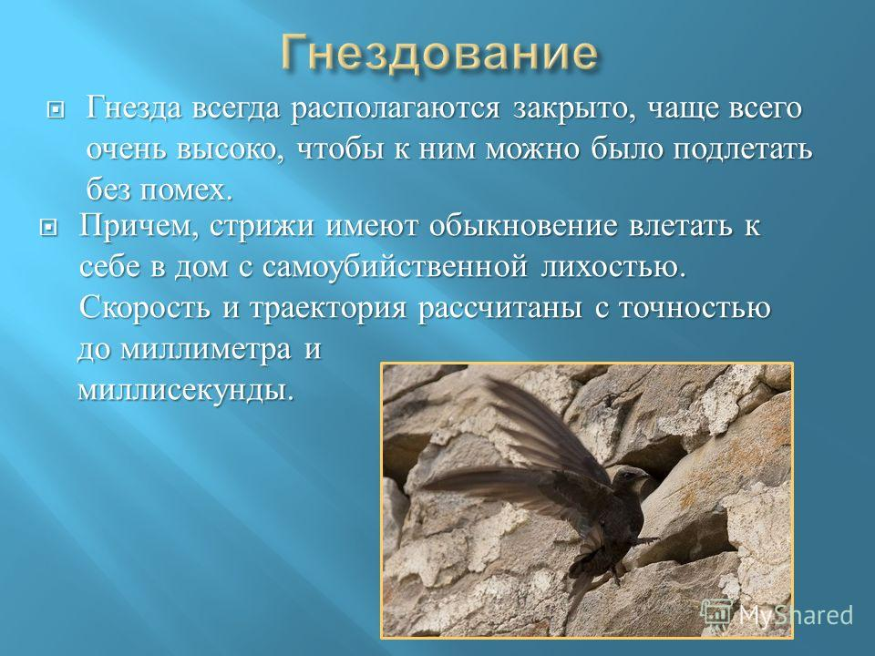 Гнезда всегда располагаются закрыто, чаще всего очень высоко, чтобы к ним можно было подлетать без помех. Гнезда всегда располагаются закрыто, чаще всего очень высоко, чтобы к ним можно было подлетать без помех. Причем, стрижи имеют обыкновение влета