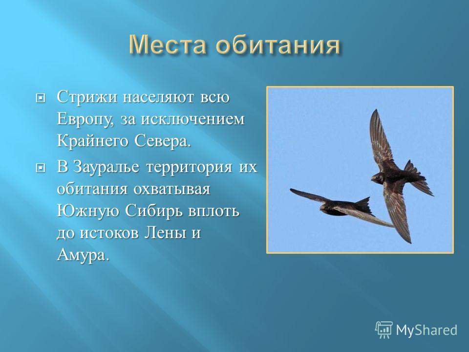 Стрижи населяют всю Европу, за исключением Крайнего Севера. Стрижи населяют всю Европу, за исключением Крайнего Севера. В Зауралье территория их обитания охватывая Южную Сибирь вплоть до истоков Лены и Амура. В Зауралье территория их обитания охватыв
