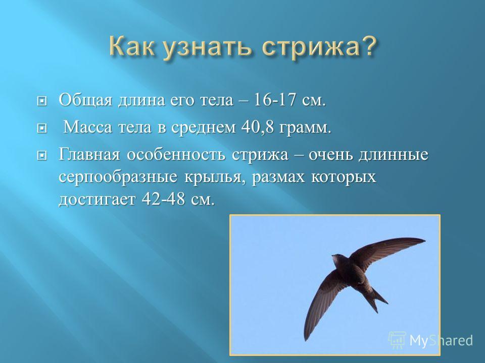 Общая длина его тела – 16-17 см. Общая длина его тела – 16-17 см. Масса тела в среднем 40,8 грамм. Масса тела в среднем 40,8 грамм. Главная особенность стрижа – очень длинные серпообразные крылья, размах которых достигает 42-48 см. Главная особенност
