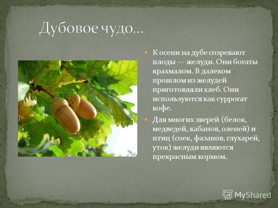 К осени на дубе созревают плоды желуди. Они богаты крахмалом. В далеком прошлом из желудей приготовляли хлеб. Они используются как суррогат кофе. Для многих зверей (белок, медведей, кабанов, оленей) и птиц (соек, фазанов, глухарей, уток) желуди являю
