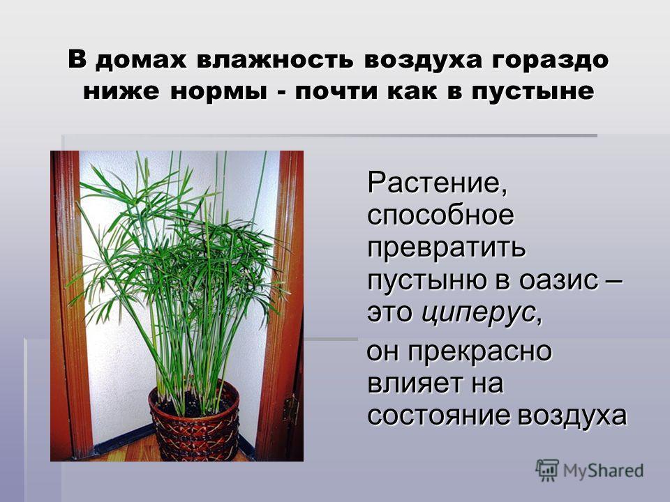 В домах влажность воздуха гораздо ниже нормы - почти как в пустыне Растение, способное превратить пустыню в оазис – это циперус, Растение, способное превратить пустыню в оазис – это циперус, он прекрасно влияет на состояние воздуха он прекрасно влияе