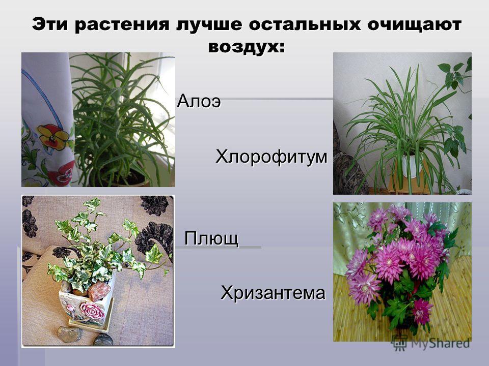 Эти растения лучше остальных очищают воздух: Алоэ Алоэ Хлорофитум Хлорофитум Плющ Плющ Хризантема Хризантема