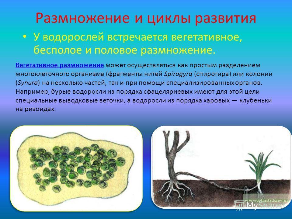 Размножение и циклы развития У водорослей встречается вегетативное, бесполое и половое размножение. Вегетативное размножениеВегетативное размножение может осуществляться как простым разделением многоклеточного организма (фрагменты нитей Spirogyra (сп