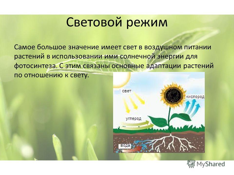 Световой режим Самое большое значение имеет свет в воздушном питании растений в использовании ими солнечной энергии для фотосинтеза. С этим связаны основные адаптации растений по отношению к свету.