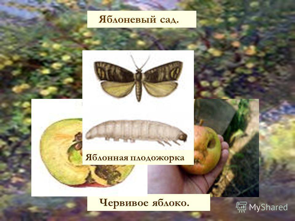 Яблоневый сад. Червивое яблоко. Яблонная плодожорка