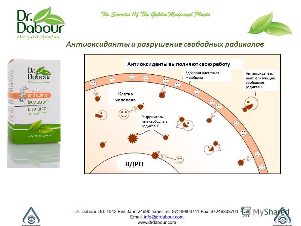 Антиоксиданты и разрушение свободных радикалов Антиоксиданты выполняют свою работу Клетка человека Здоровая клеточная мембрана Антиоксиданты, нейтрализующие свободные радикалы Разрушитель- ные свободные радикалы ЯДРО