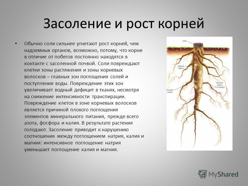 Засоление и рост корней Обычно соли сильнее угнетают рост корней, чем надземных органов, возможно, потому, что корни в отличие от побегов постоянно находятся в контакте с засоленной почвой. Соли повреждают клетки зоны растяжения и зоны корневых волос