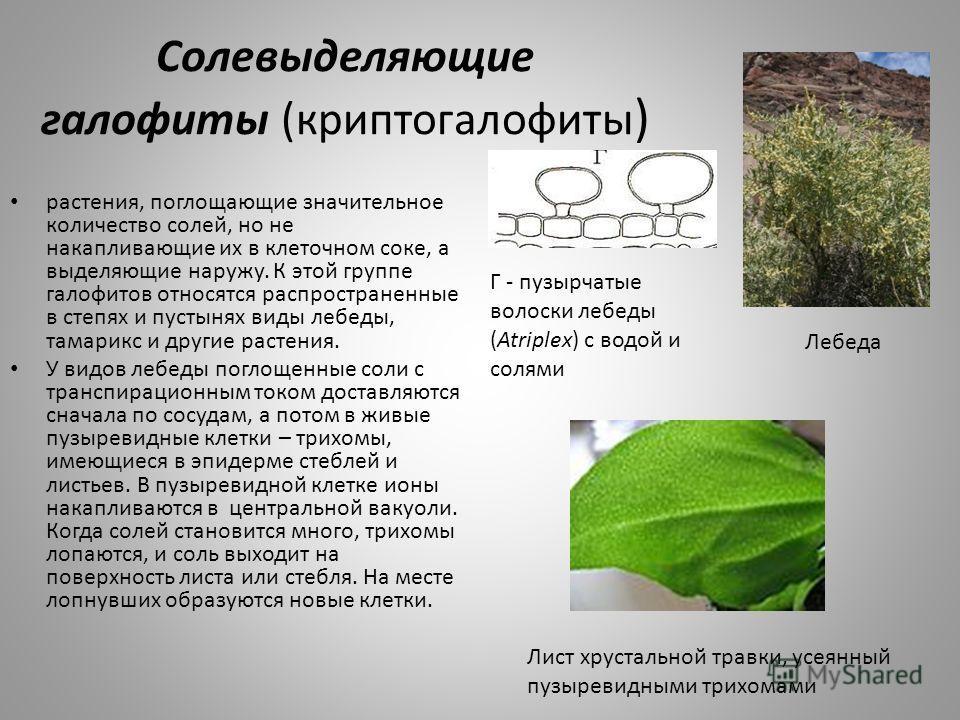 Солевыделяющие галофиты (криптогалофиты ) растения, поглощающие значительное количество солей, но не накапливающие их в клеточном соке, а выделяющие наружу. К этой группе галофитов относятся распространенные в степях и пустынях виды лебеды, тамарикс