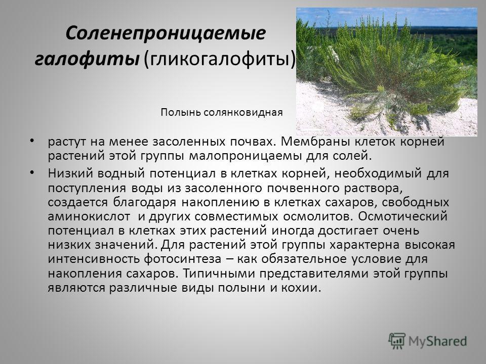 Соленепроницаемые галофиты (гликогалофиты) растут на менее засоленных почвах. Мембраны клеток корней растений этой группы малопроницаемы для солей. Низкий водный потенциал в клетках корней, необходимый для поступления воды из засоленного почвенного р