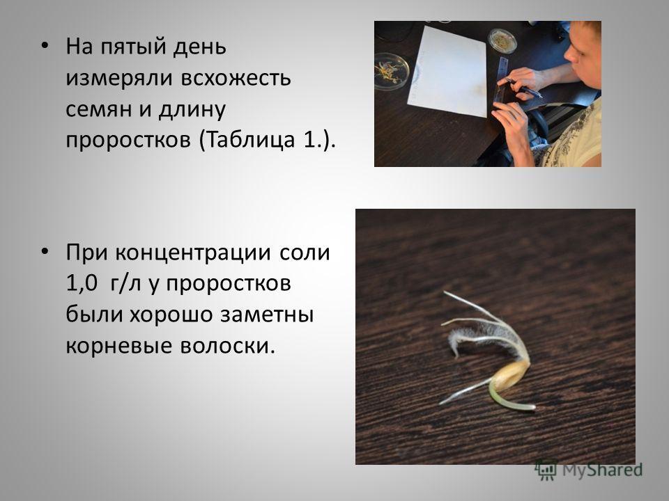 На пятый день измеряли всхожесть семян и длину проростков (Таблица 1.). При концентрации соли 1,0 г/л у проростков были хорошо заметны корневые волоски.
