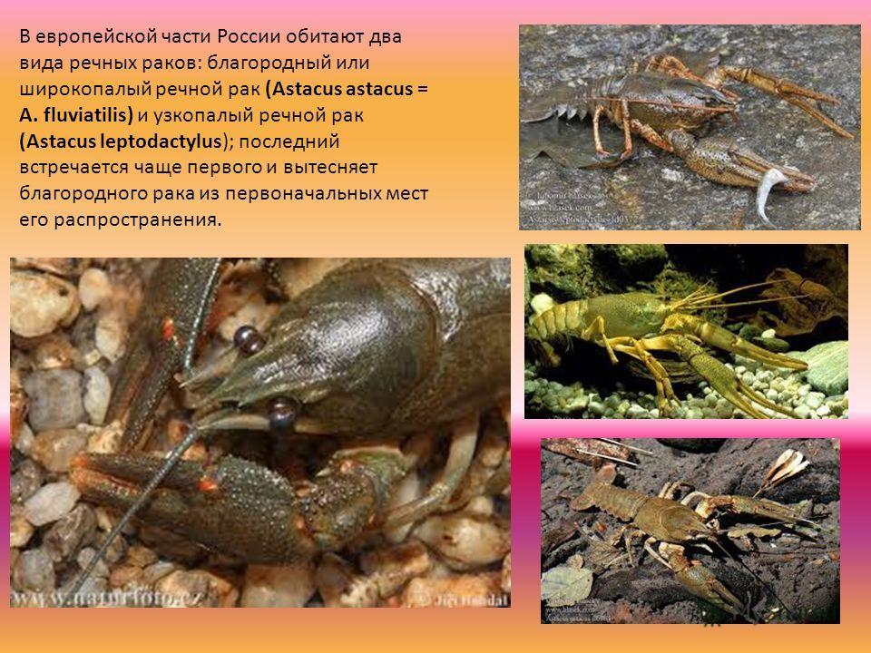 В европейской части России обитают два вида речных раков: благородный или широкопалый речной рак (Astacus astacus = A. fluviatilis) и узкопалый речной рак (Astacus leptodactylus); последний встречается чаще первого и вытесняет благородного рака из пе