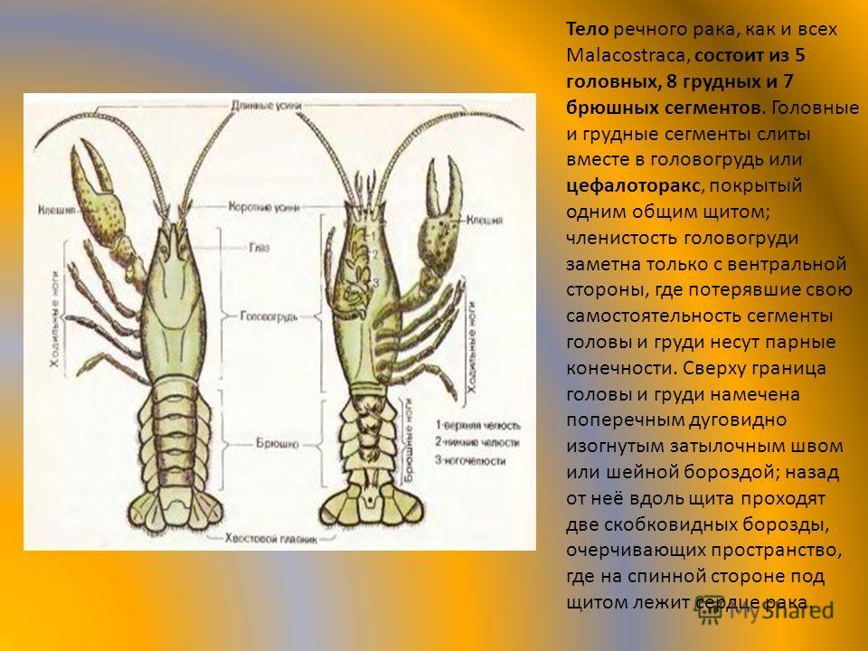 Тело речного рака, как и всех Malacostraca, состоит из 5 головных, 8 грудных и 7 брюшных сегментов. Головные и грудные сегменты слиты вместе в головогрудь или цефалоторакс, покрытый одним общим щитом; членистость головогруди заметна только с вентраль