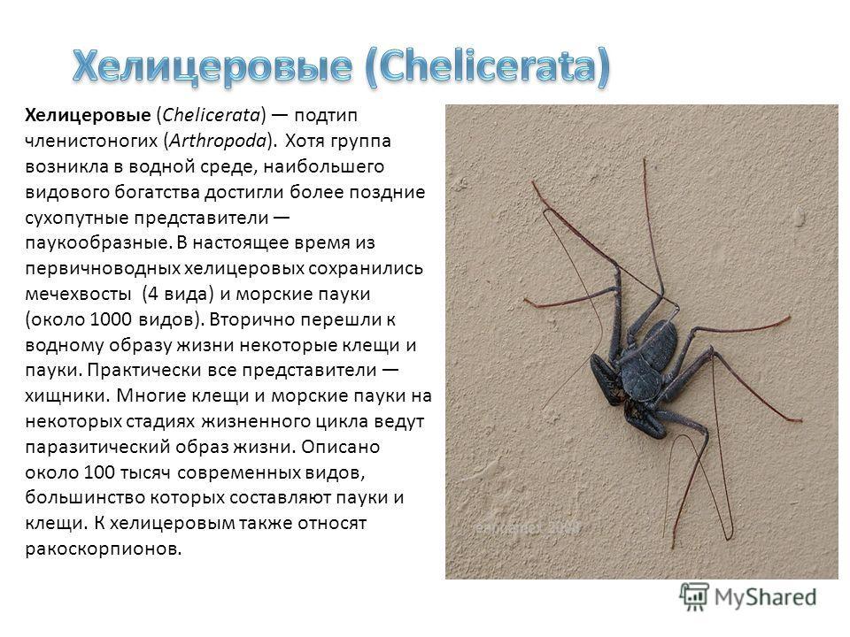 Хелицеровые (Chelicerata) подтип членистоногих (Arthropoda). Хотя группа возникла в водной среде, наибольшего видового богатства достигли более поздние сухопутные представители паукообразные. В настоящее время из первичноводных хелицеровых сохранилис
