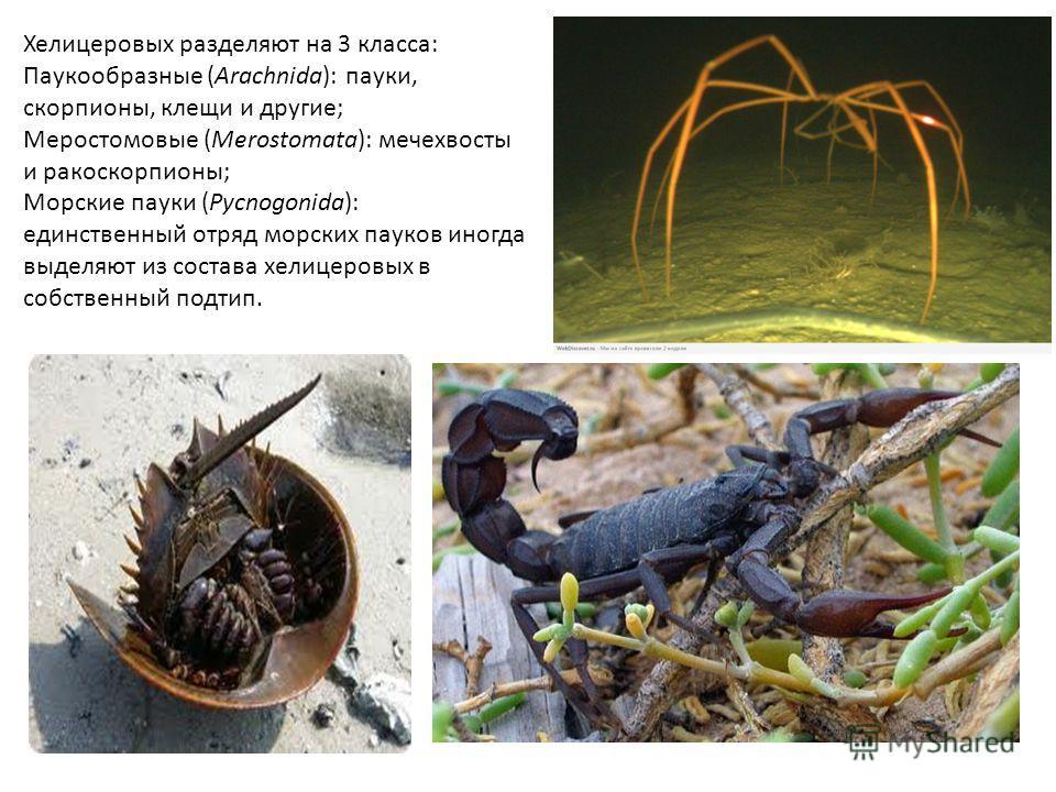 Хелицеровых разделяют на 3 класса: Паукообразные (Arachnida): пауки, скорпионы, клещи и другие; Меростомовые (Merostomata): мечехвосты и ракоскорпионы; Морские пауки (Pycnogonida): единственный отряд морских пауков иногда выделяют из состава хелицеро