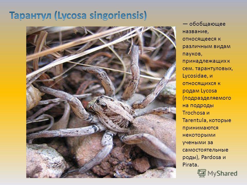 обобщающее название, относящееся к различным видам пауков, принадлежащих к сем. тарантуловых, Lycosidae, и относящихся к родам Lycosa (подразделяемого на подроды Trochosa и Таrentula, которые принимаются некоторыми учеными за самостоятельные роды), P