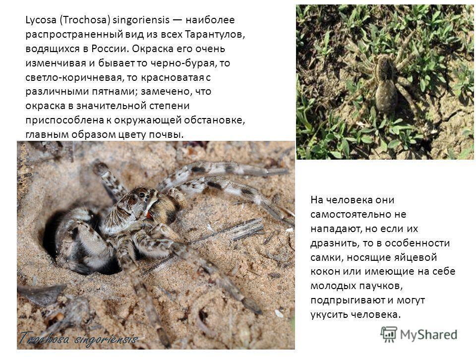 Lycosa (Trochosa) singoriensis наиболее распространенный вид из всех Тарантулов, водящихся в России. Окраска его очень изменчивая и бывает то черно-бурая, то светло-коричневая, то красноватая с различными пятнами; замечено, что окраска в значительной