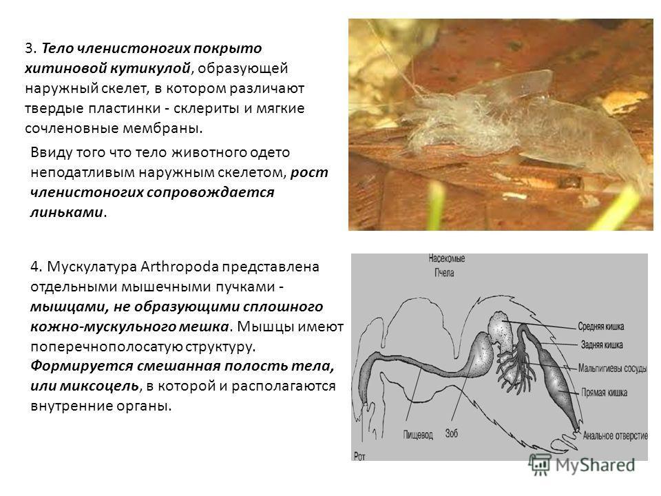 3. Тело членистоногих покрыто хитиновой кутикулой, образующей наружный скелет, в котором различают твердые пластинки - склериты и мягкие сочленовные мембраны. Ввиду того что тело животного одето неподатливым наружным скелетом, рост членистоногих сопр