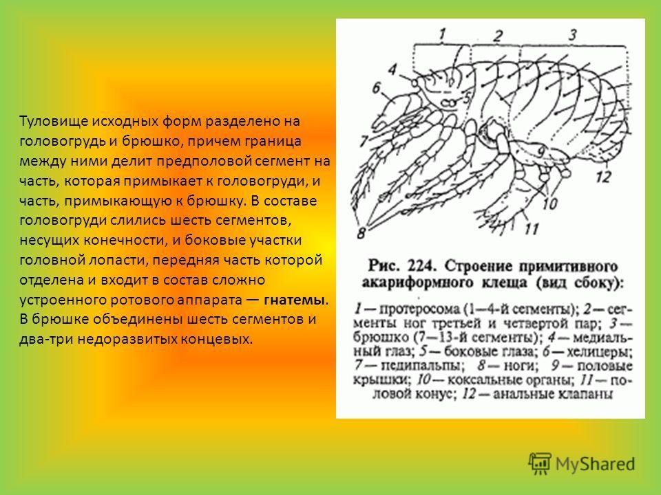 Туловище исходных форм разделено на головогрудь и брюшко, причем граница между ними делит предполовой сегмент на часть, которая примыкает к головогруди, и часть, примыкающую к брюшку. В составе головогруди слились шесть сегментов, несущих конечности,
