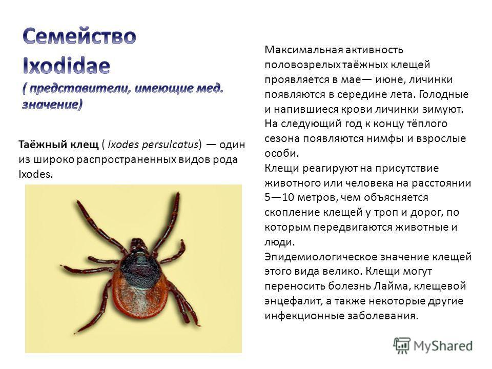 Таёжный клещ ( Ixodes persulcatus) один из широко распространенных видов рода Ixodes. Максимальная активность половозрелых таёжных клещей проявляется в мае июне, личинки появляются в середине лета. Голодные и напившиеся крови личинки зимуют. На следу