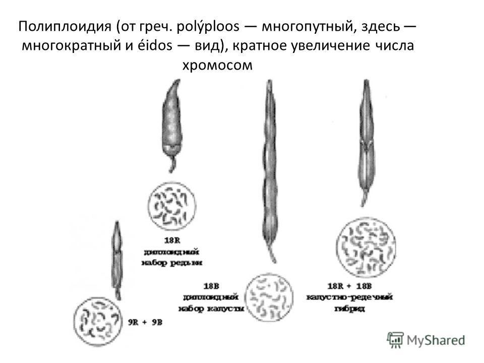 Полиплоидия (от греч. polýploos многопутный, здесь многократный и éidos вид), кратное увеличение числа хромосом