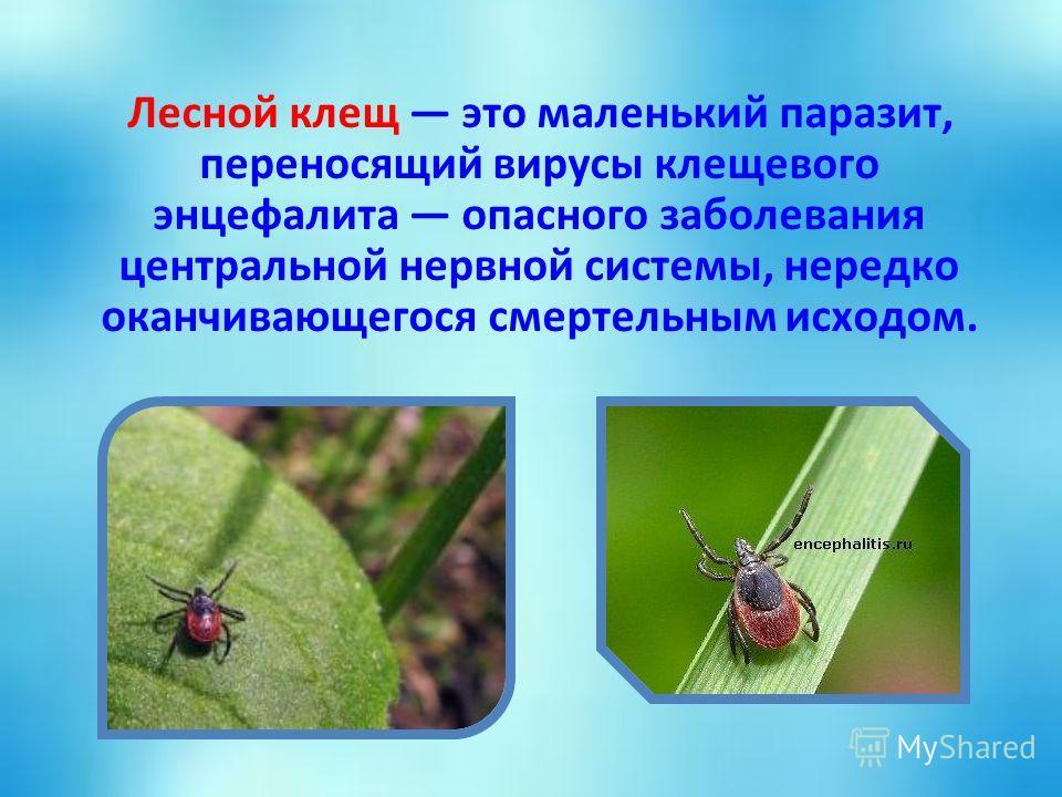 Лесной клещ это маленький паразит, переносящий вирусы клещевого энцефалита опасного заболевания центральной нервной системы, нередко оканчивающегося смертельным исходом.