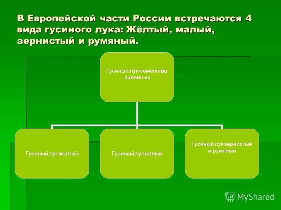 В Европейской части России встречаются 4 вида гусиного лука: Жёлтый, малый, зернистый и румяный. Гусиный лук-семейства лилейных Гусиный лук жёлтыйГусиный лук малый Гусиный лук зернистый и румяный