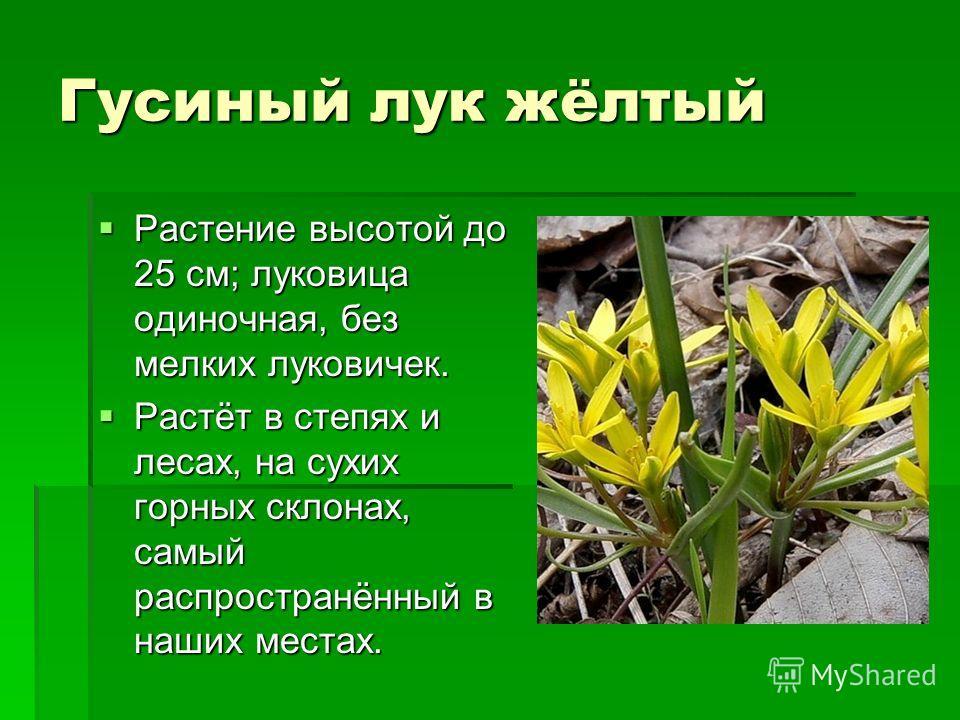 Гусиный лук жёлтый Растение высотой до 25 см; луковица одиночная, без мелких луковичек. Растение высотой до 25 см; луковица одиночная, без мелких луковичек. Растёт в степях и лесах, на сухих горных склонах, самый распространённый в наших местах. Раст